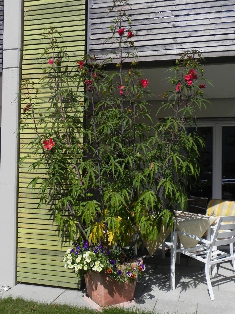 Hibiscus Coccineus- Scharlach-Hibiscus