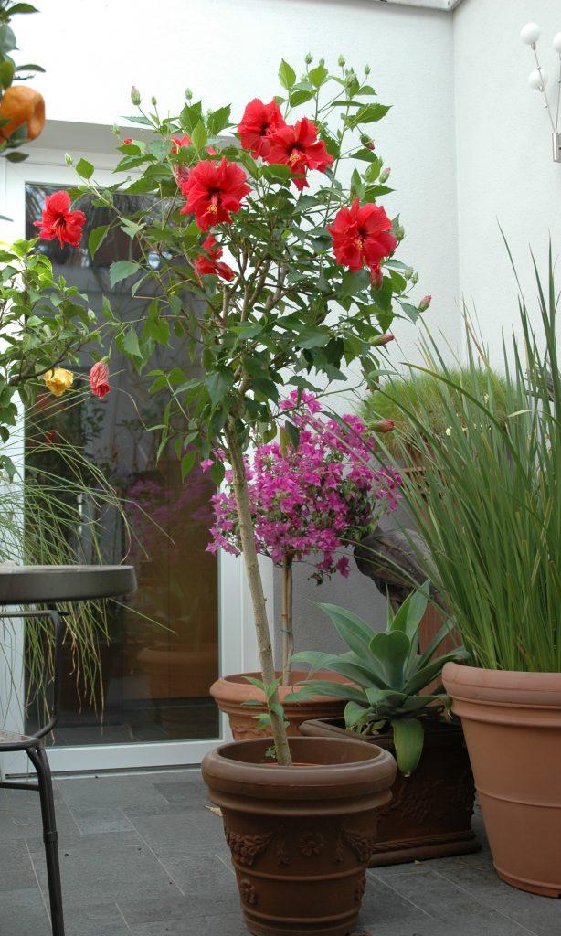 Hibiscus rosa sinensis- Chinesischer Roseneibisch- Stämmchen - Bunga Raya